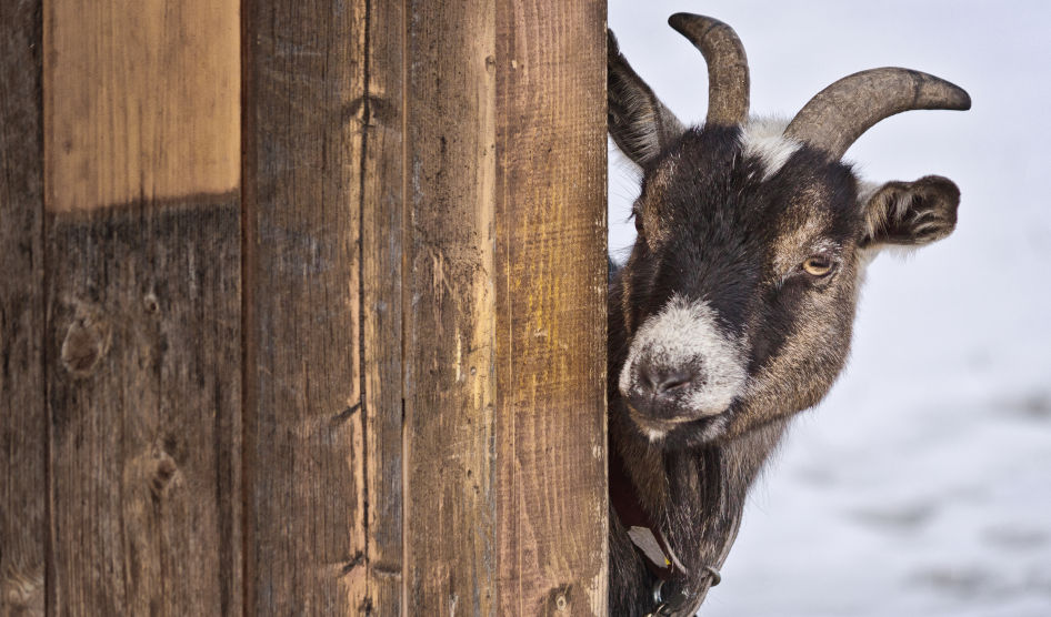 Goat peering around a wooden wall